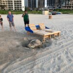 Nesting Green Sea Turtle